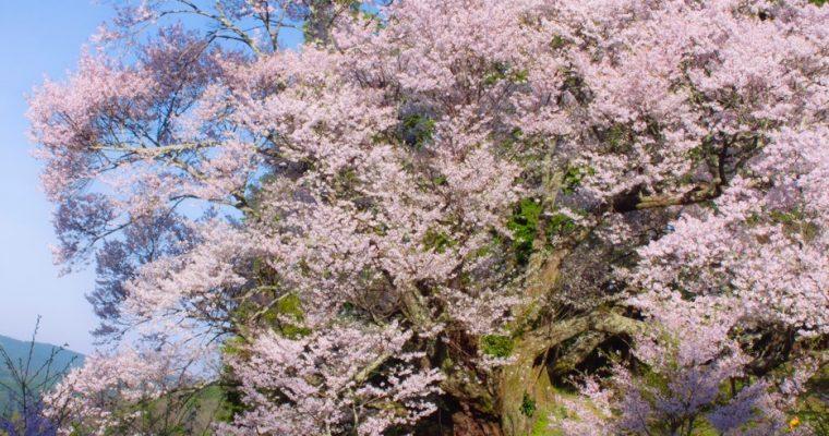 奈良のオススメの桜とスイーツをご紹介!